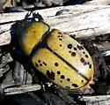 Eastern Hercules Beetle - Dynastes tityus