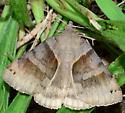 Gray Moth with Brown Pattern - Caenurgina crassiuscula