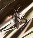 Big-assed assassin bug - Acanthocephala declivis