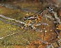 1112201 Ichneumon - Podoschistus vittifrons - female