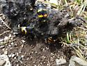Carrion Beetle - Nicrophorus tomentosus