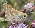 Skipper Butterfly - Hesperia