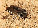 Spider Wasps Genus Episyron - Episyron