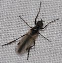 night insect - Bibio - male