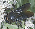 7009829 Carpenter bee - Xylocopa californica - female