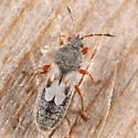 Chinch Bug - Blissus