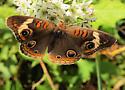 Common Buckeye - Junonia coenia Hübner - Hodges#4440 - Junonia coenia