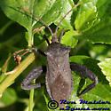 Leaffooted Bug - Acanthocephala femorata - male