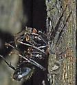 5012778 - Tmarus angulatus