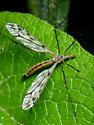Diptera. Tipulidae. - Tipula - female