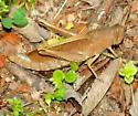 Hopper - Schistocerca damnifica - female