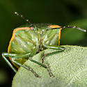 Large Green Stinkbug - Chlorochroa persimilis