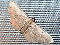 Horisme intestinata - Brown Bark Carpet Moth - Horisme intestinata