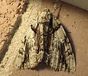 moth - Catocala vidua