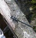 dragonfly - Stenogomphurus rogersi