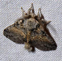 possible?  Gluphisia septentrionis - Gluphisia septentrionis