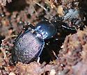 Sphaeroderus stenostomus lecontei - Sphaeroderus stenostomus