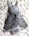 Black and Gray Moth - Apotolype brevicrista