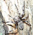 spider - Araneus saevus