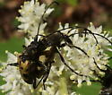 Mating insects on Solomon's Seal - Evodinus monticola - male - female