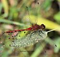 Sympetrum male - male