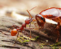 Red Ant - Aphaenogaster tennesseensis - female
