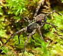 Wolf Spider (Hogna?) - Tigrosa georgicola - female