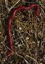 Soil Centipedes (Geophilomorpha)?? - Strigamia