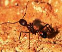 Long legged solitary ant - Novomessor cockerelli - female