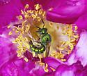Green wasp on Wild Rose - Augochloropsis metallica