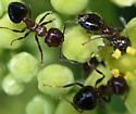 Formica ants? on porcelain berry (Ampelopsis brevipedunculata) - Crematogaster atkinsoni