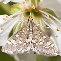 Crambid Snout Moth - Diacme adipaloides