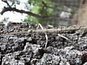 Walking Stick Insect 2 - Megaphasma denticrus - female