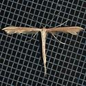 Morning-glory Plume Moth? - Emmelina monodactyla