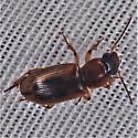 Seedcorn Beetle