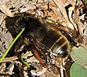 Bumblebee? - Anthophora villosula