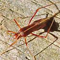 Bug - Paraxenetus guttulatus