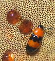 pleasing fungus beetle - Triplax festiva