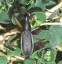 Cnemodus mavortius