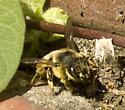 Leaf-cutting Bee - Megachile perihirta - female