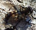 brown fly - Xylota