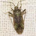 Plant Bug - Phytocoris eximius