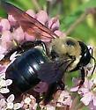 bumble bee - Xylocopa virginica
