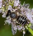 Megachilid visiting flower - Megachile mendica