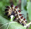 American Lady caterpillar - Vanessa virginiensis