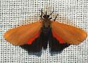 Moth - Virbia ostenta