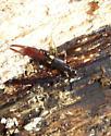 V. brunneipennis  - Vostox brunneipennis