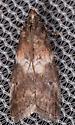 Salebriaria rufimaculatella?