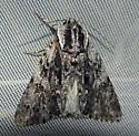 for Oregon-June - Acronicta perdita