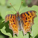 Comma Butterfly - Polygonia satyrus